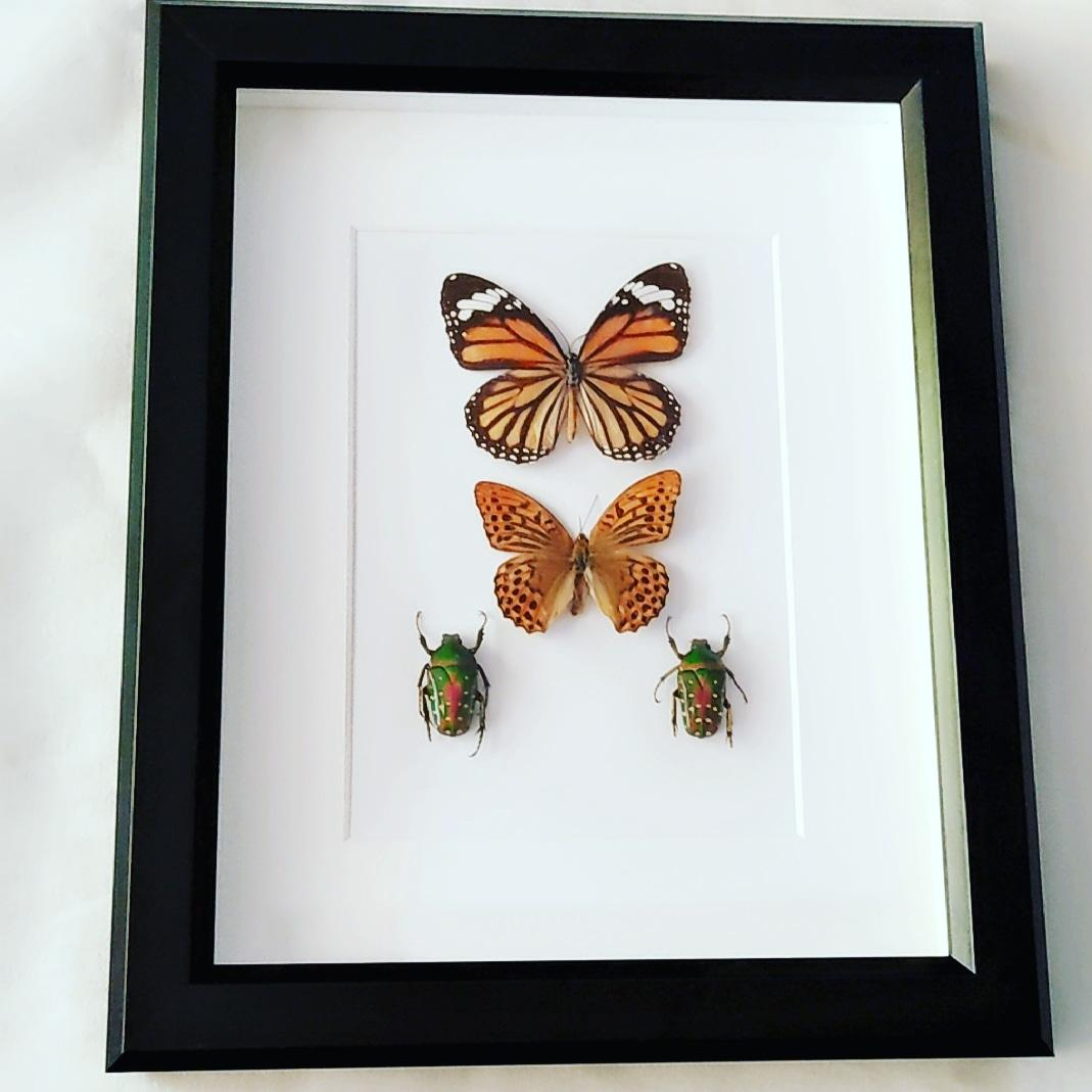 Butterfly and Christmas Beetles Specimens
