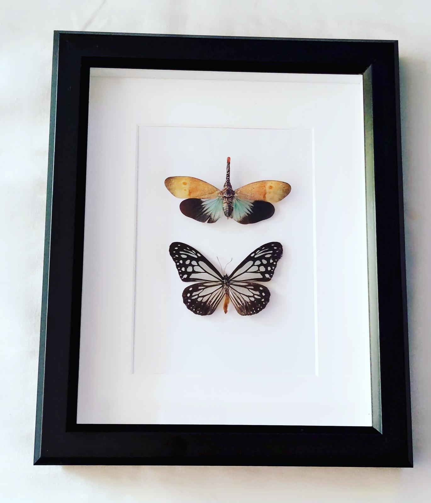 Lantern Bug and Butterfly Specimens