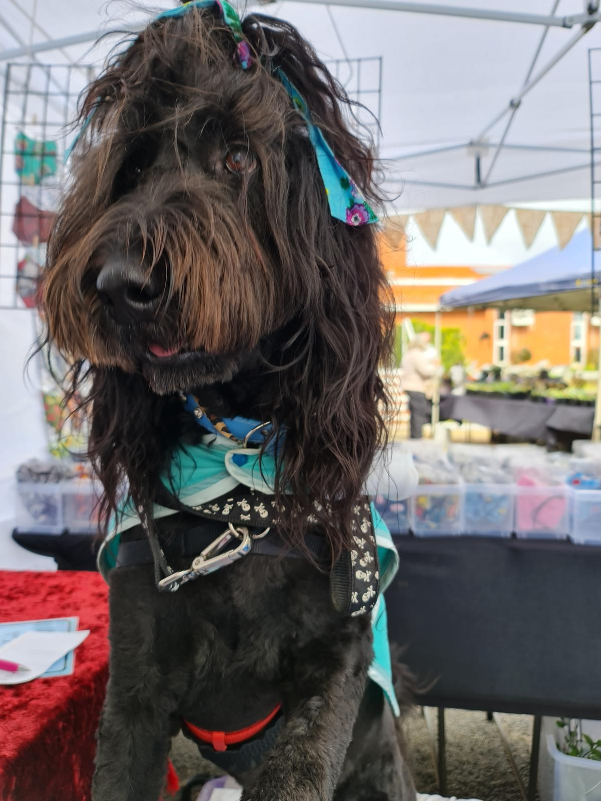 Willow, my Groodle Mascot - Only joins at pet friendly markets