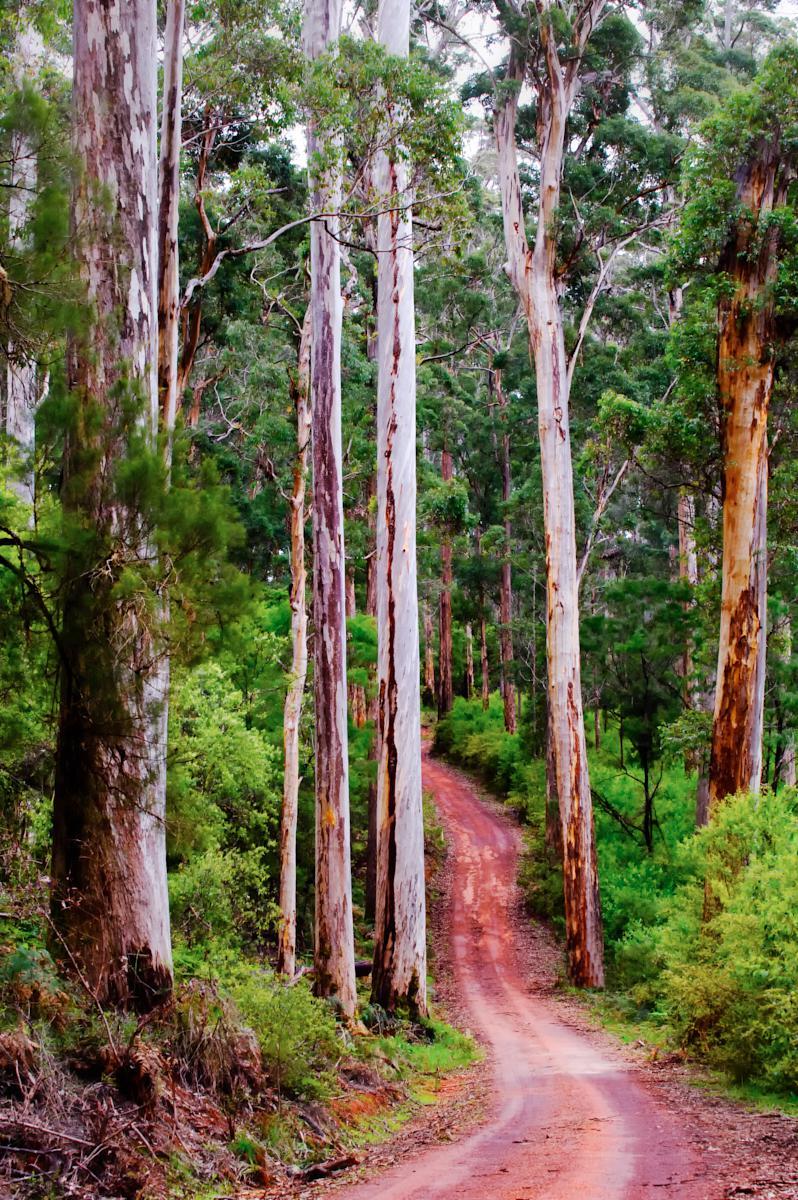 Karri Trees Pemberton